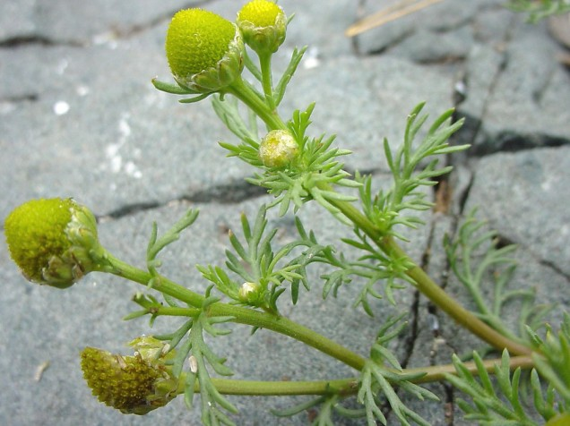 Isn't this pineapple weed (wild chamomile) lovely?